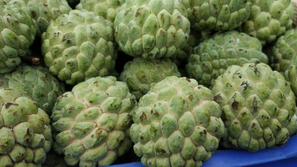 Custard apples also known as Chermoyas, are found in South America, West Indies and part of Asia. Its botanical name is Annona reticulata. It contains anti-oxidants such as vitamin C that help get rid of free radicals from the body. Further, it is rich in calcium, iron, magnesium, niacin and potassium. The fruit is of high calorific value and contains good amount of natural sugar. While custard apple can be consumed as a fruit, the custard apple powder would be helpful for people who do not have access to this fruit all around the year. There are different varieties of custard apple such as Pinks Mammoth, African Pride, Late Gold, Geffner, and Hilary White. Let us check out the benefits of custard apple powder For healthy skin and hair: As it contains large amount of vitamin A, the custard apples are good for healthy skin. It is an excellent moisturizer and anti-aging agent. It also helps in improving eyesight. The hard outer skin of the custard apple is used in treating tooth decay and pain in the gums. For digestion: Being a source rich in dietary fiber and copper, it aids in digestion and causes good bowel movement. Both constipation and diarrhea are cured by taking custard apple powder regularly. To gain weight: Are you too skinny and looking to put on weight? Consume custard apple powder on a regular basis and see the difference. Being high on calories, it is a healthy way to add weight. Boosts energy levels: Feeling tired and exhausted all the time? Custard apple powder helps over it. The fruit is an excellent source for energy and helps fight muscle weakness. Brings down the risk of arthritis: The high level magnesium content in custard apple will lower the risk of arthritis. For pregnant women: Pregnant women are advised to take custard apple powder on a regular basis as it helps in the development of brain, nervous system and immune system of the fetus. Apart from this, it also helps combat nausea in pregnant women and reduces labor pain. It also prevents p